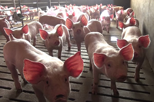 Pigs in a barren pen